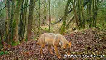 Zuhal Demir verlengt jachtverbod in wolvengebied tot eind augustus