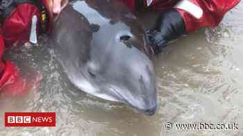 Trapped porpoise rescued by lifeboat crew in Sefton - BBC News