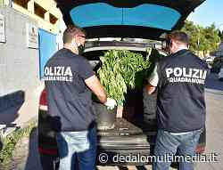 Enna - La Polizia di Stato denuncia due persone per coltivazione di marijuana - dedalomultimedia.it