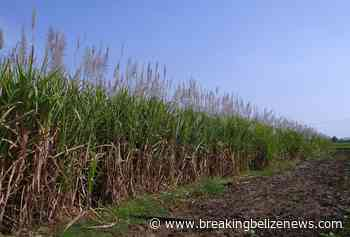 The ambitious plans to help sugar and agriculture survive: will it go far enough? - Breaking Belize News
