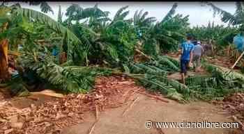 Ventarrón arrasa con plantaciones de guineos y plátanos en Hatillo Palma - Diario Libre