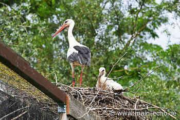 Sechs Storchenpaare auf einem Fleck in Kleinostheim - Main-Echo