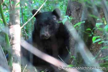 Second bear sighting in a week at View Royal neighbourhood - Saanich News