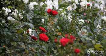 """Rosen pflegen: Das sollten Sie zur """"Königin der Blumen"""" wissen - WEB.DE News"""