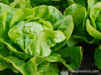 Looking for heat-tolerant lettuces? Try new varieties each year