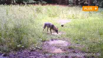 Bei Eichstätt ist ein Wolf in eine Fotofalle getappt
