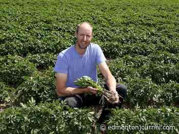 Alberta potato farmers optimistic for harvest after pandemic soiled supply lines - Edmonton Journal