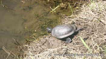 Bad Vilbel: Europäische Sumpfschildkröte ist zurück an der Nidda - Wetterauer Zeitung