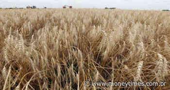 Plantio de trigo no Rio Grande do Sul avança a 87% da área; ciclone afeta algumas... - Money Times