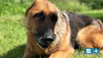 Gequälter Keinohr-Hund: Luna findet in Olsberg neues Zuhause - Westfalenpost