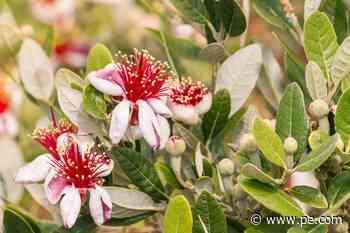 Master Gardener: How to get fruit on a pineapple guava tree - Press-Enterprise