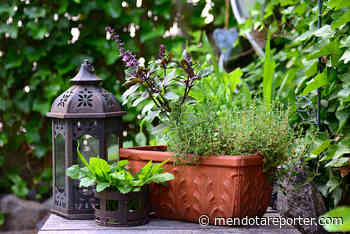 Master Gardener Q&A - Harvesting your summer herbs - Mendota Reporter