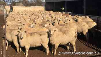 YP-bred first cross ewes soar to $476 national record