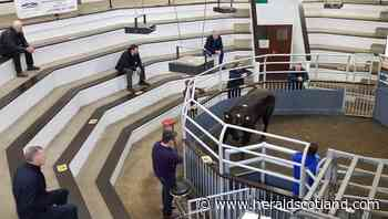Stirling auctioneer invests in facilities upgrade on back of solid livestock throughput - HeraldScotland