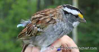 White-throated sparrows change their tune from three notes to two - Squamish Chief
