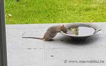 """Ratten komen boven uit verdroogde riolen in Zoersel: """"Gemeente moet iets doen aan rattenplaag"""" - Het Nieuwsblad"""