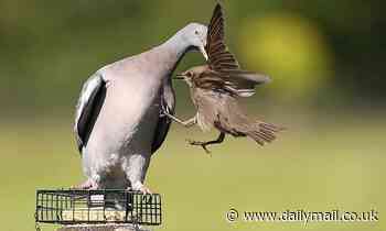 Feathered fiend! Bully Pigeon picks up Star on his wing and hurls him from the garden bird feeder