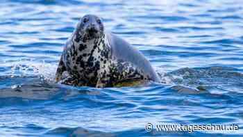 Mehr Kegelrobben-Nachwuchs im Wattenmeer - dank Corona?