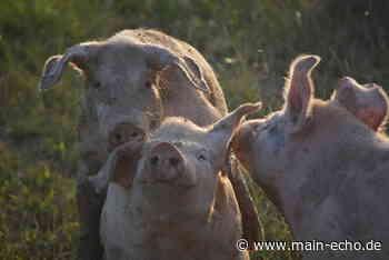 Metzgereien im Landkreis Miltenberg wissen, woher ihre Rinder und Schweine kommen - Main-Echo