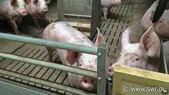 Dornstadt: Funktioniert Schweinemast und Tierwohl? | Ulm | SWR Aktuell Baden-Württemberg | SWR Aktuell - SWR