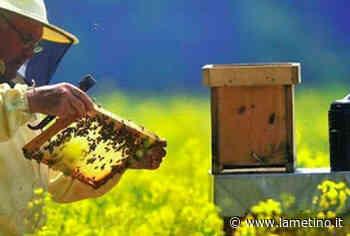 Approvato decreto per apicoltura, Parentela (M5S): 'Rilanciamo il comparto con fondi e obiettivi specifici' - Il Lametino