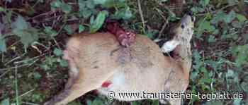 Traunreut: Drei freilaufende Hunde reißen Rehgeiß nahe Kläranlage - Traunsteiner Tagblatt