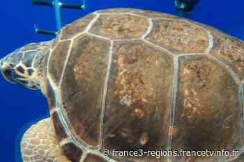 Sainte-Maxime: Ana, la tortue avec des crustacés sous sa carapace et du plastique dans le ventre, a été remise - France 3 Régions