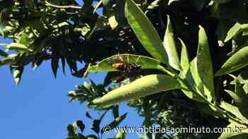 Homem morre após ataque de vespas asiáticas enquanto cortava gramado - Notícias ao Minuto Brasil