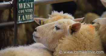 Truro Livestock Market report for Wednesday, June 24 - Cornwall Live