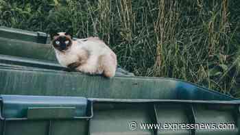 Animals Matter: Fewer feral cats will be neutered this year because of coronavirus - San Antonio Express-News