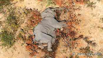 Elephant deaths: Mystery after hundreds of animals die in Botswana - Sky News