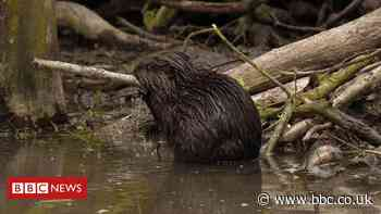 Essex beavers project: Flood-defence duo produce offspring at Spains Hall Estate