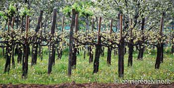 Asolo Prosecco: produzione in ascesa - Corriere del Vino