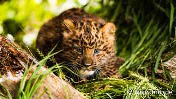 Leoparden-Baby erkundet Zuhause im Zoo Hoyerswerda - MDR