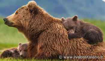 Trento, identificato l'orso che ha aggredito due persone: è una femmina di 14 anni - Il Valore Italiano