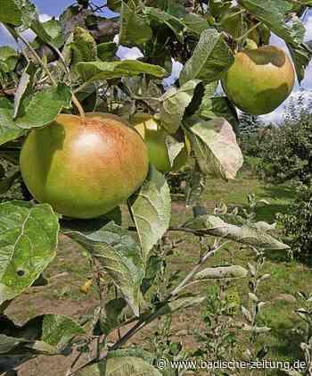 Gemeinde fördert das Pflanzen von Obstbäumen - Ehrenkirchen - Badische Zeitung