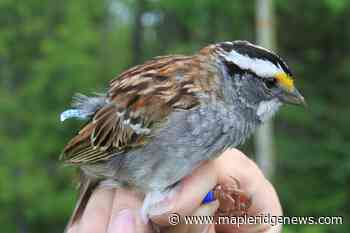 White-throated sparrows have changed their tune, BC study unveils - Maple Ridge News