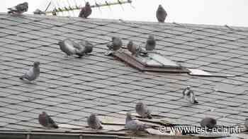 Les pigeons aussi sont déconfinés à Romilly-sur-Seine ! - L'Est Eclair