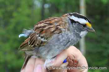 White-throated sparrows have changed their tune, B.C. study unveils - Ladysmith Chronicle