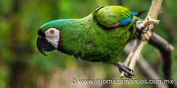 El Parque Ecológico Ehécatl celebra la reproducción del Guacamayo verde - La Jornada Morelos