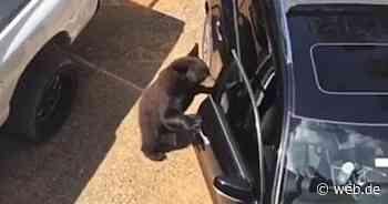 USA: Bär bricht gekonnt in Auto ein - WEB.DE News