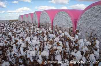 Brasil tem salto na participação nas importações chinesas de algodão, aponta ICAC - Notícias Agrícolas