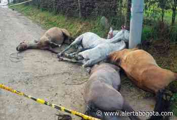 Cinco caballitos murieron amarrados a poste por culpa de irresponsables jinetes - Alerta Bogotá