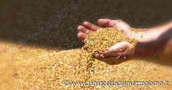Foggia, il grano duro di alta qualità, ma allarmano le rese basse - La Gazzetta del Mezzogiorno