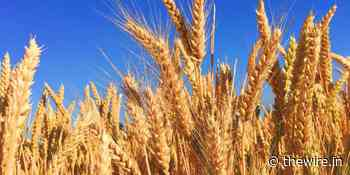 After MP's Bumper Wheat Procurement, Storage and State Finance Challenges Lie Ahead - The Wire
