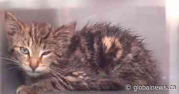 Kitten lodged near car engine rescued at Cobourg, Ont., mall - Globalnews.ca