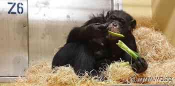 """Nach Affenhaus-Brand in Krefeld: Zoo zeigt Bally und Limbo im """"Schimpansen TV"""" - Westdeutsche Zeitung"""