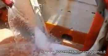 Manfredonia, piccolo squalo si impiglia nella rete: salvato dai pescatori - La Gazzetta del Mezzogiorno