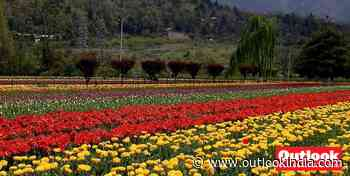 Paradise Lost! Kashmir's Tulips In Full Bloom But Where Have The Tourists Gone? - Outlook India