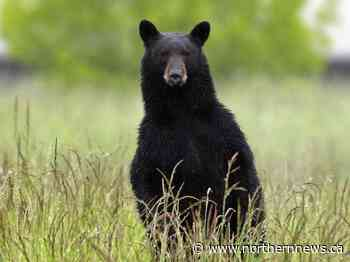 Town reminds residents to be bear wise - Northern Daily News